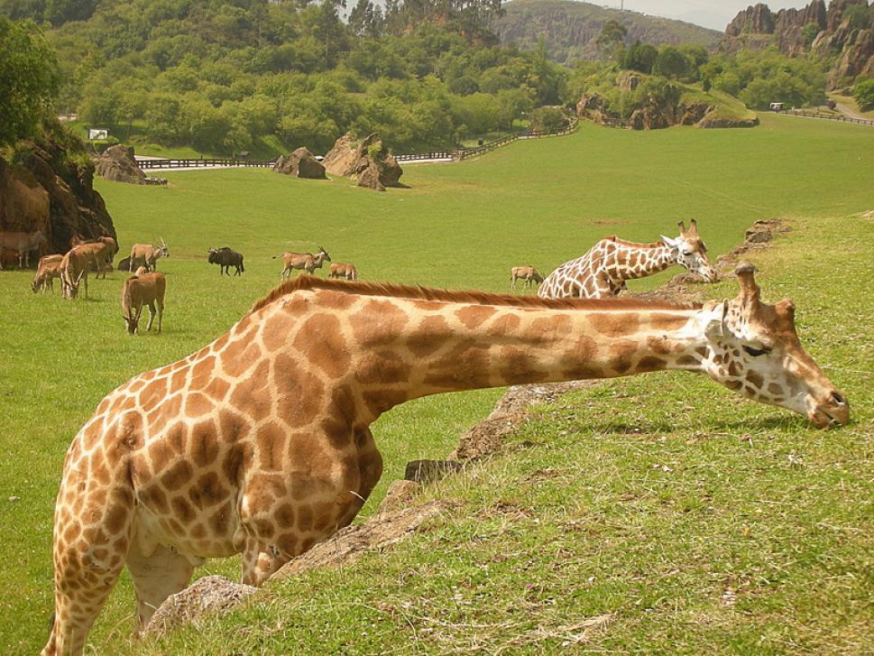 Los animales viven en régimen de semilibertad, y se distribuyen por recintos de grandes dimensiones en los que coexisten diferentes especies. (Foto: Turismo de Cantabria, turismodecantabria.com)